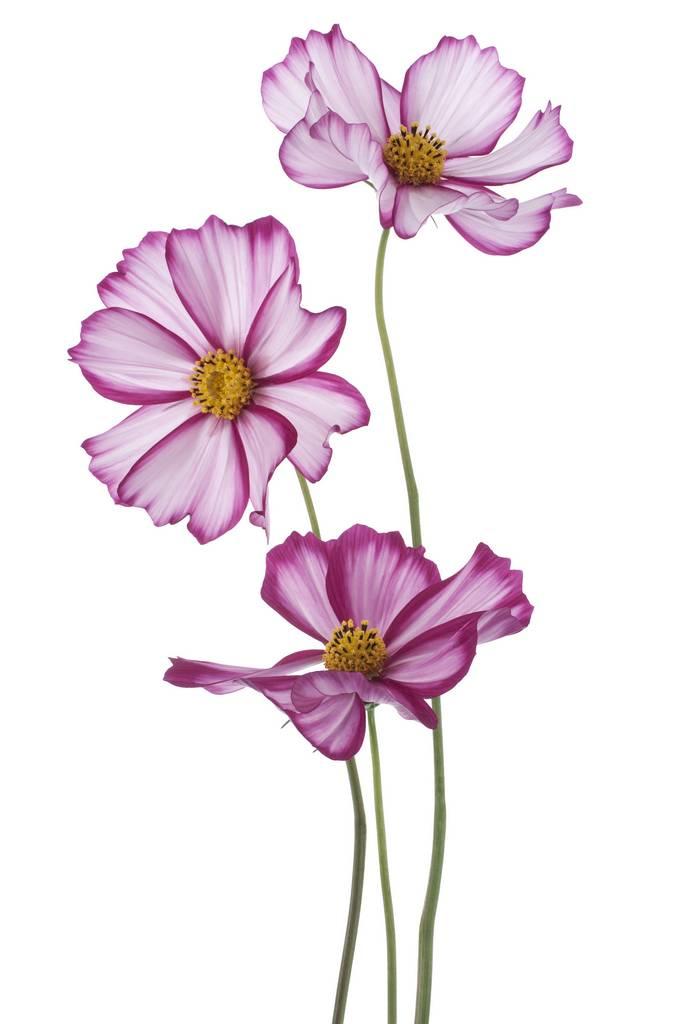 Репродукция картина - Пурпурная космея